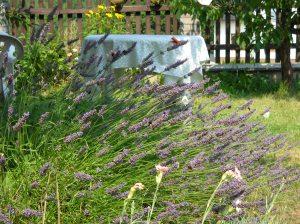 La lavanda nel mio giardino con i bombi e le farfalle bianche